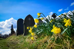 daffodils and graves